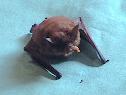 Bat Eating Mealworms
