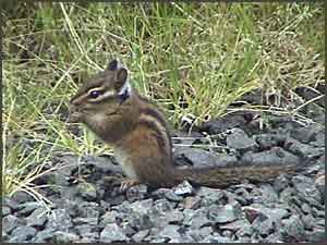 Townsend's Chipmunk Eating Grass Seeds
