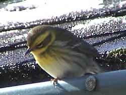 Townsend's Warbler (Female)