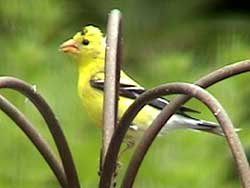 American Goldfinch Male with Very Small Black Cap
