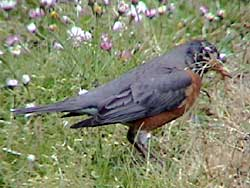 American Robin Collecting Nesting Material