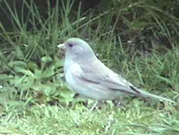 Dark-eyed Junco (Leucistic)