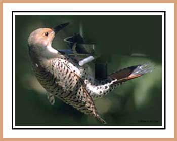Northern Flicker at Globe