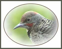 Intergrade Northern Flicker (Baby Male)