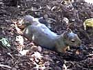 Douglas Squirrel Bathing in Bark